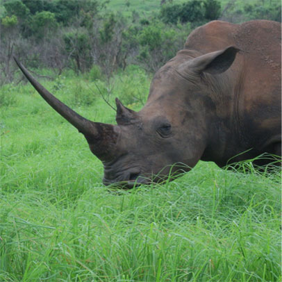A White Rhino - one of the many species of African wildlife that can be seen in Swaziland